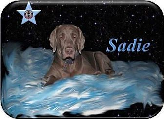 SENIOR-URGENT-Berthierville / Sorel, QC - Weimaraner. Meet Sadie, a dog for adoption. http://www.adoptapet.com/pet/10063003-berthierville-sorel-quebec-weimaraner