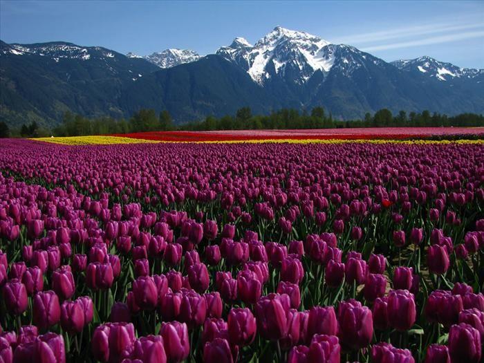 Tulipas - Columbia Britânica, Canadá.