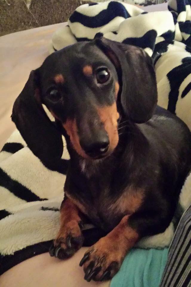 Cooper S Mommy Cali Baby Dachshund Dachshund Dog Weiner Dog