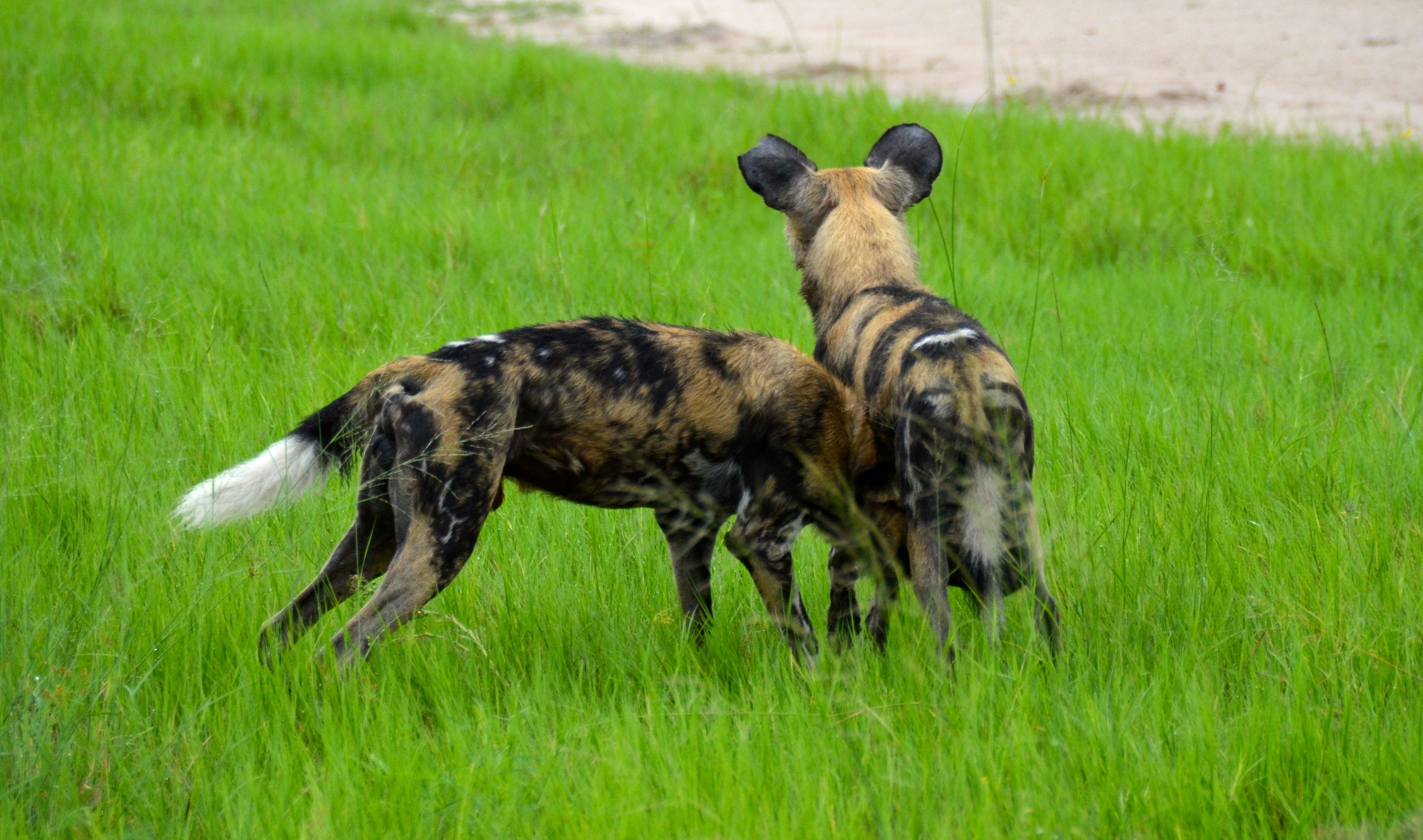 African Wild Dog Pack at the Moremi Game Reserve in
