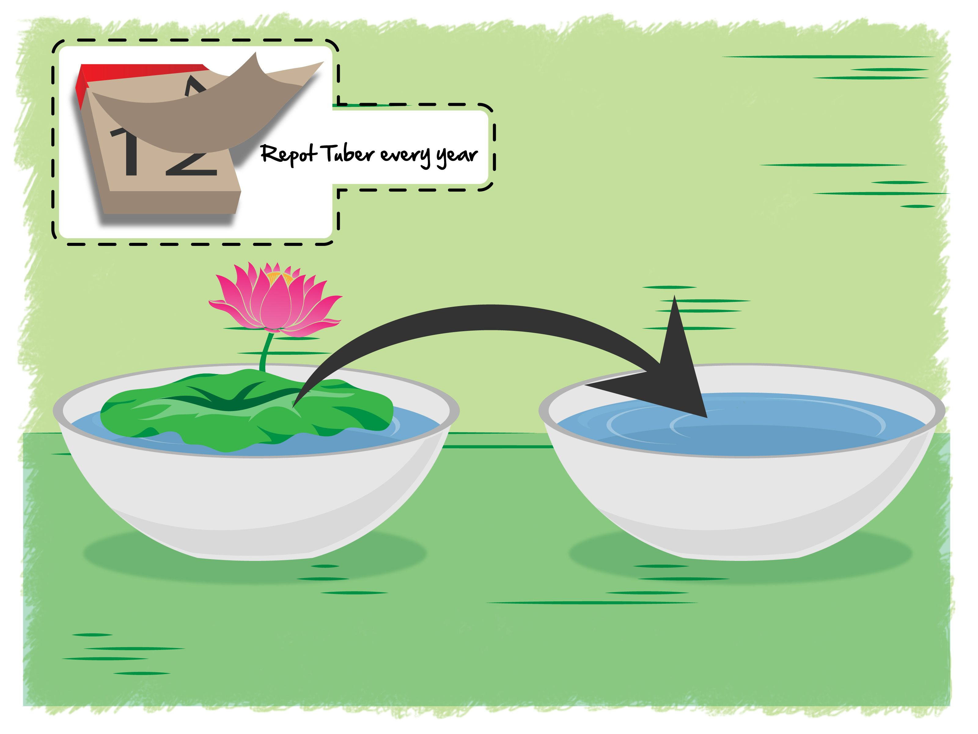 Grow lotus flower beautiful the plant and flower