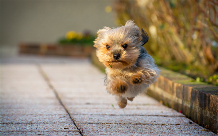Download Wallpapers Yorkshire Terrier Running Dog Cute Dog Yorkie Close Up Fluffy Dog Dogs Cute Animals Pets Yorkshire Terrier Dog Besthqwallpapers Com Yorkshire Terrier Puppies Fluffy Dogs Rottweiler Puppies