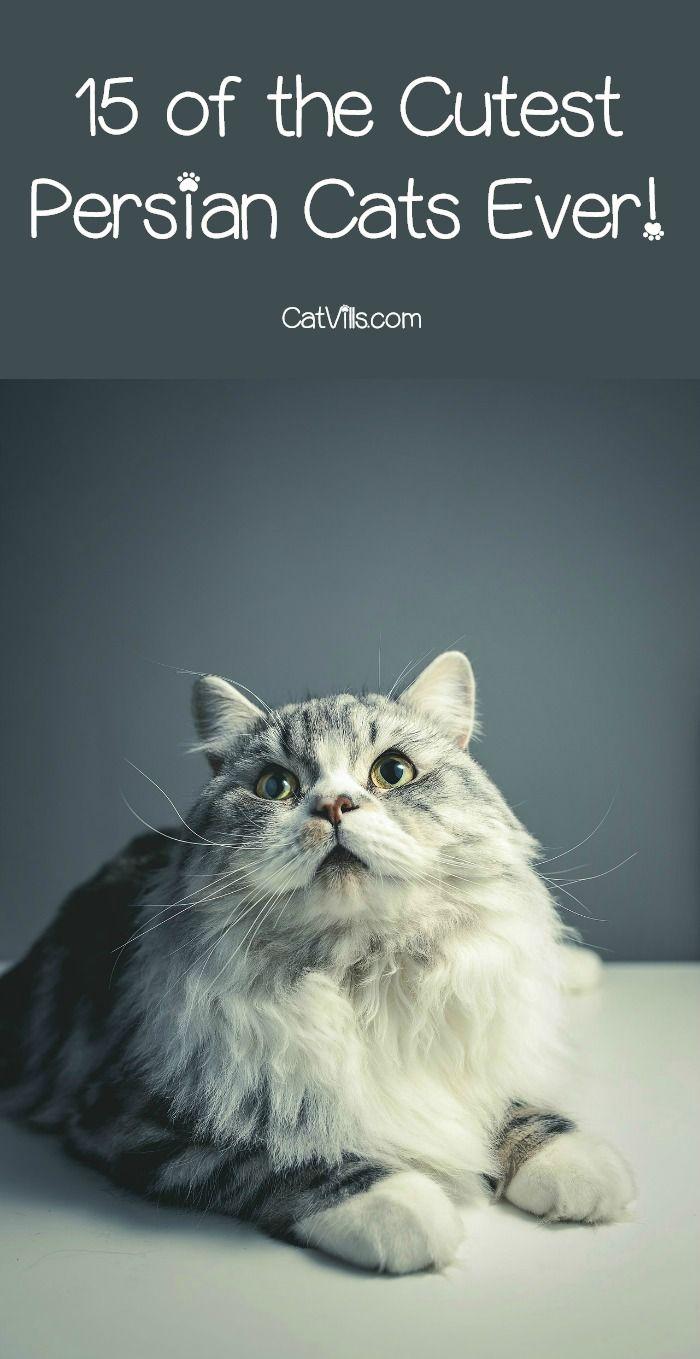15 Of The Cutest Persian Cats You Ve Ever Seen Catvills Persian Cat Pretty Cats Cats