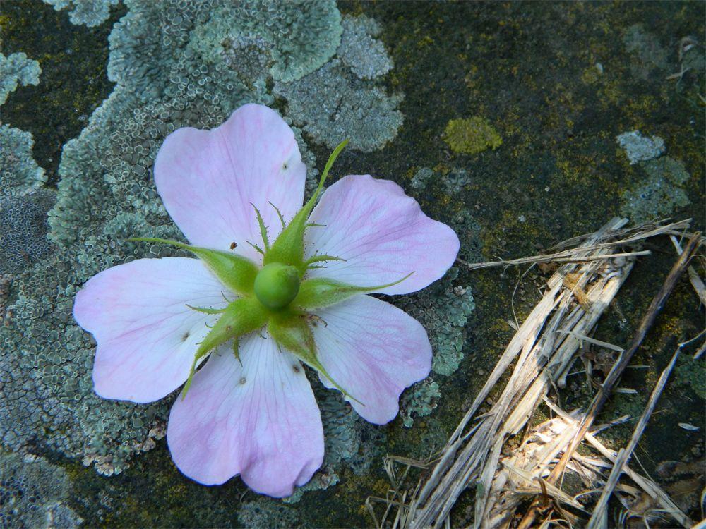 La rosa selvatica (aprile, maggio, giugno sopra i 400 m)