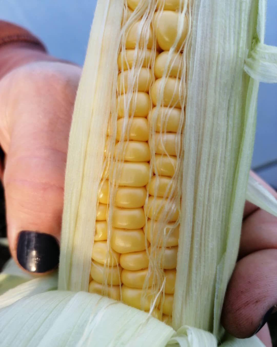 This Years Corn Is Ready Again So Sweet Can Never Grow Enough Of This Sweetcorn Corn Cornonthecob Corncob Co Growing Sweet Corn Veg Garden Corn On Cob
