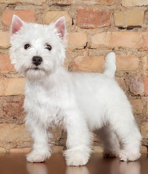 13 Favorite White Dog Breeds Animals Westie Puppies