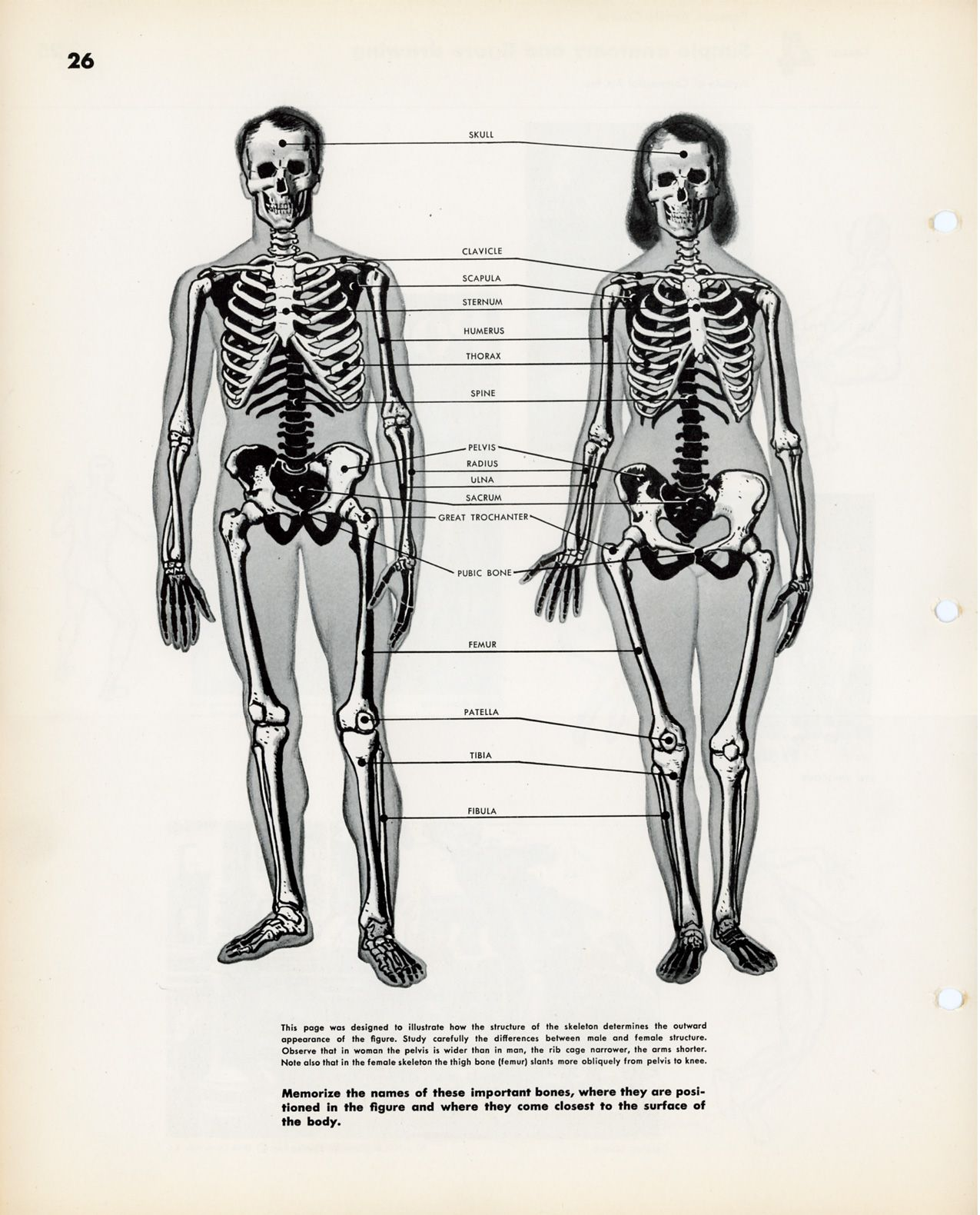 male and female anatomy from the famous artist's course. | drawers, Skeleton