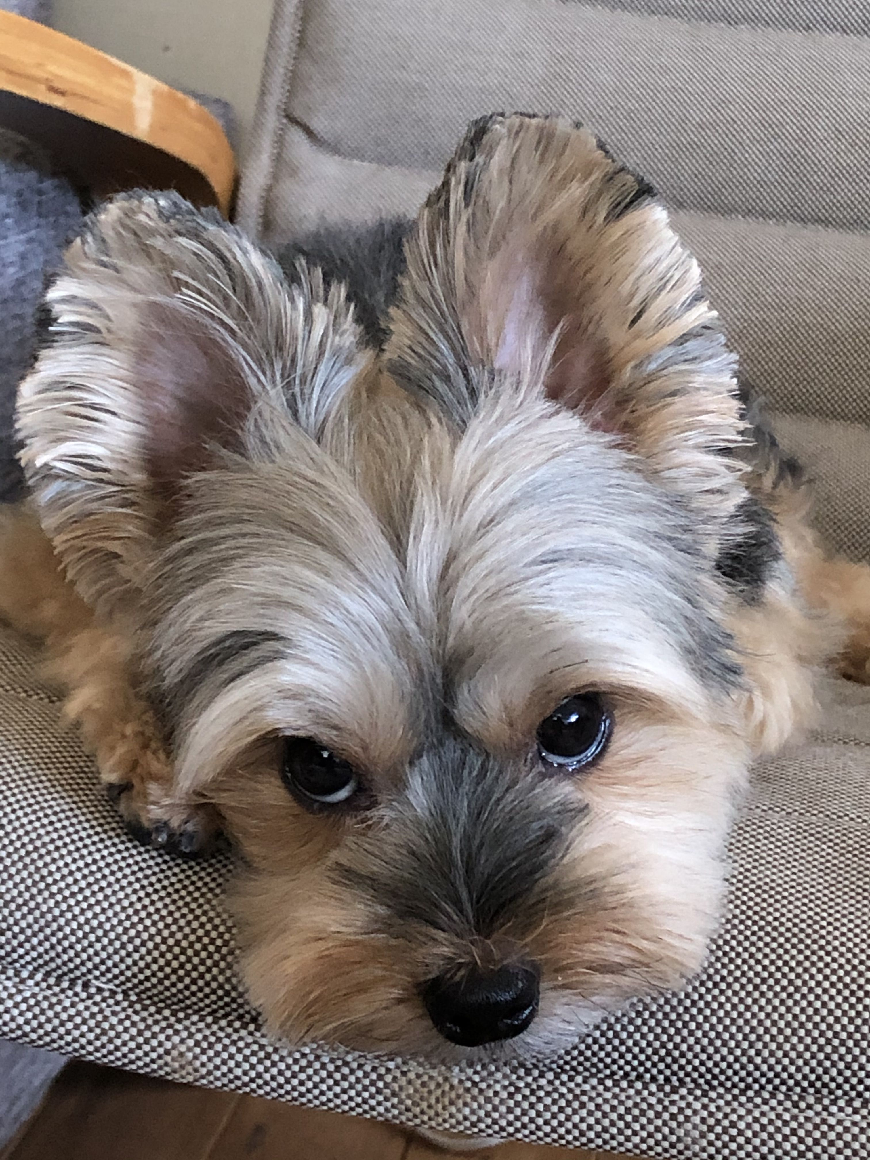 Pin By Ximena Diez On Yorkshire Terrier In 2020 Yorkshire Terrier Puppies Terrier
