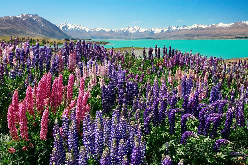 Bright coloured lupins with the glacial blue waters of Lake Tekapo behind them, McKenzie Country