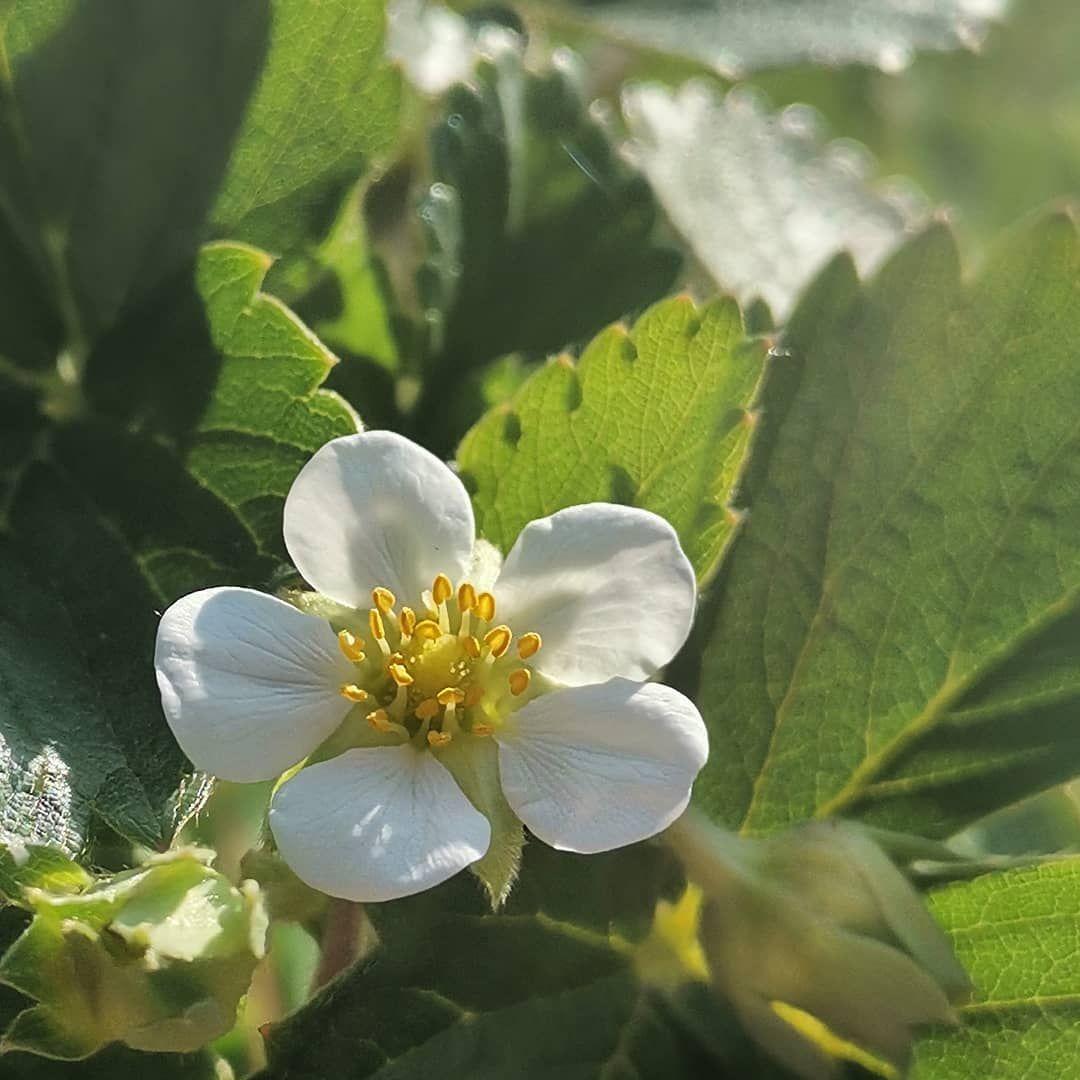 Coltivare Lamponi In Vaso fior di fragola ☺️🍓 cosa puoi coltivare su di me