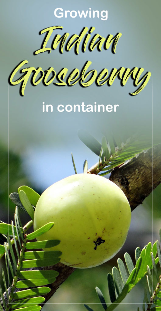 Growing Indian Gooseberry Tree In A Container How To Grow Amla From Seed Gooseberry Tree Gooseberry Plant How To Grow Gooseberries