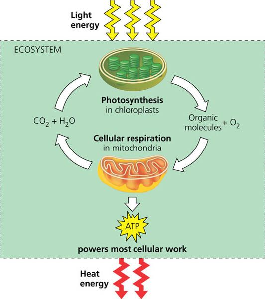 This Pin Explains How Energy Flows Through An Ecosystem As Sunlight And Leaves As Heat While Chemical Elements That A Energy Flow Ecosystems Organic Molecules