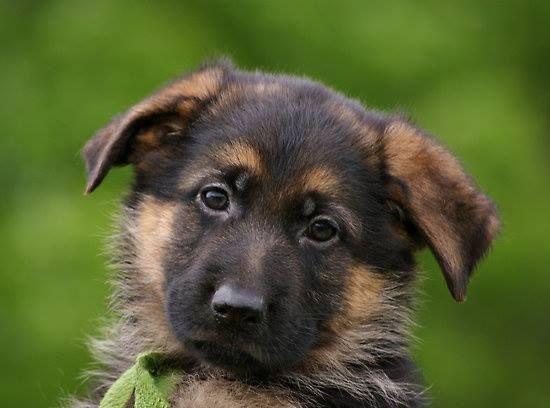 Pin By Agustin Geraldo On El Perro German Shepherd Puppies