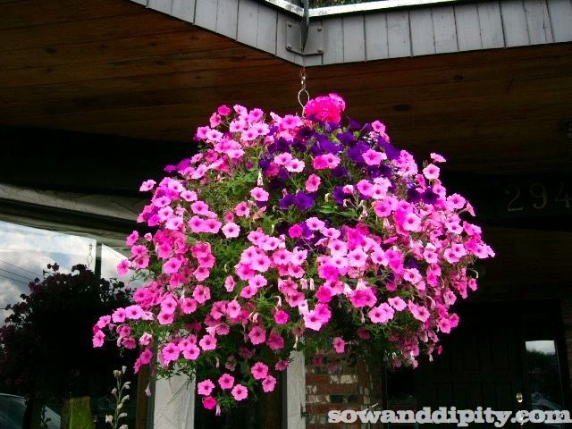 Pink and purple hanging basket must plant up hanging baskets explore flower garden design and more pink and purple hanging mightylinksfo