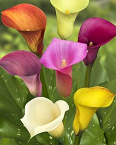 fleur callas photo