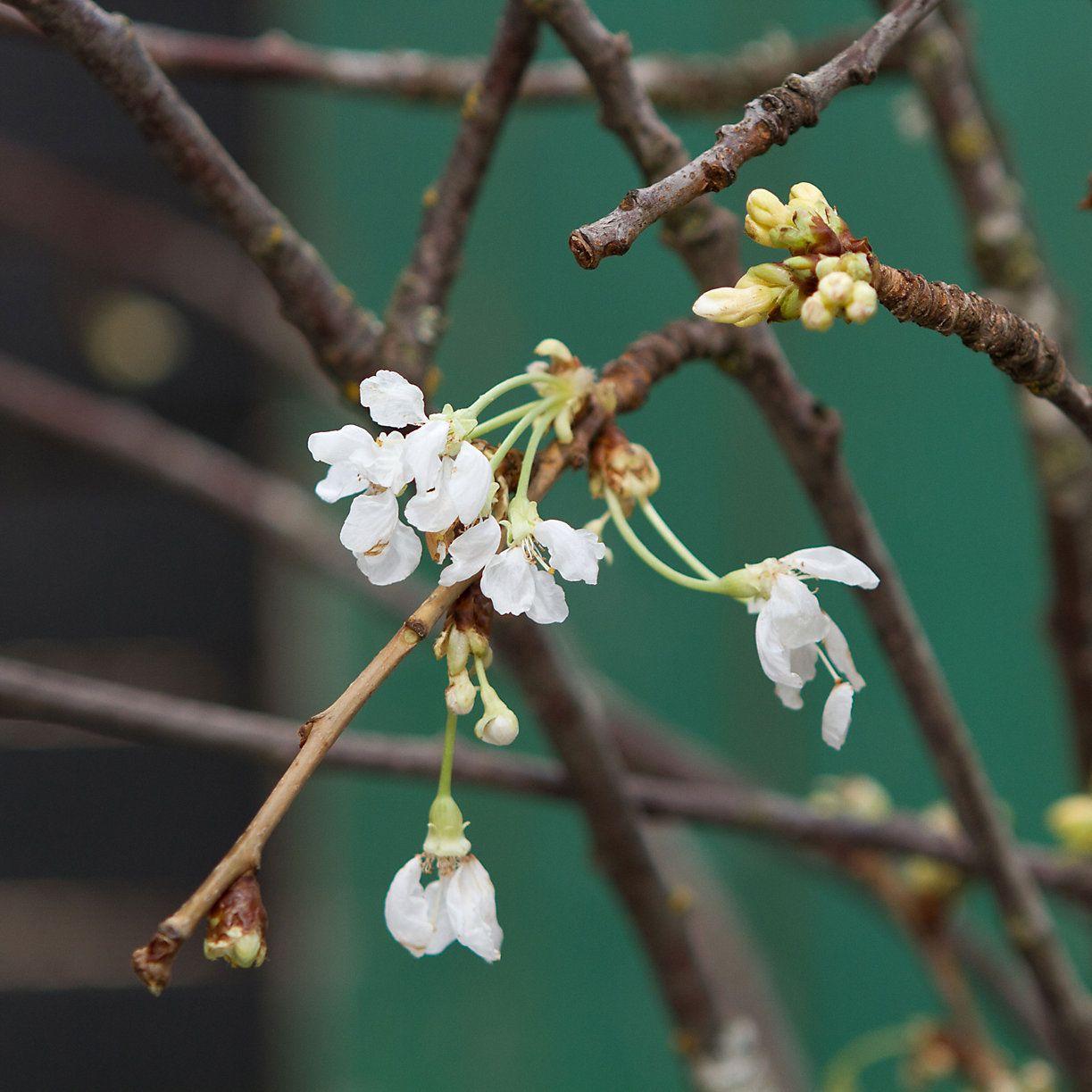 Terrain Seasonal White Blossom Branches  #shopterrain
