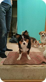 Bellingham Wa Australian Shepherd Mix Meet Mac A Dog For