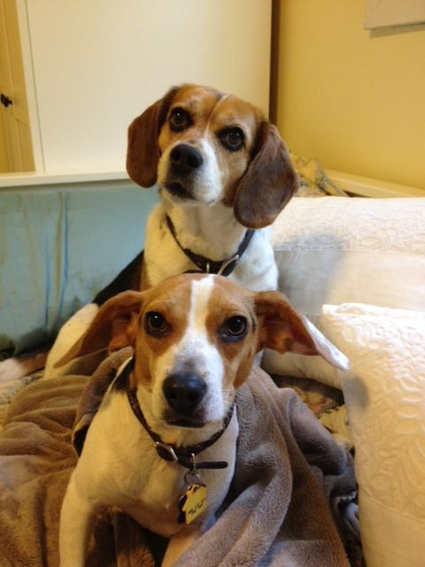 Lucy And Peanut Or The Flying Beagle Beagle Dogs Animals