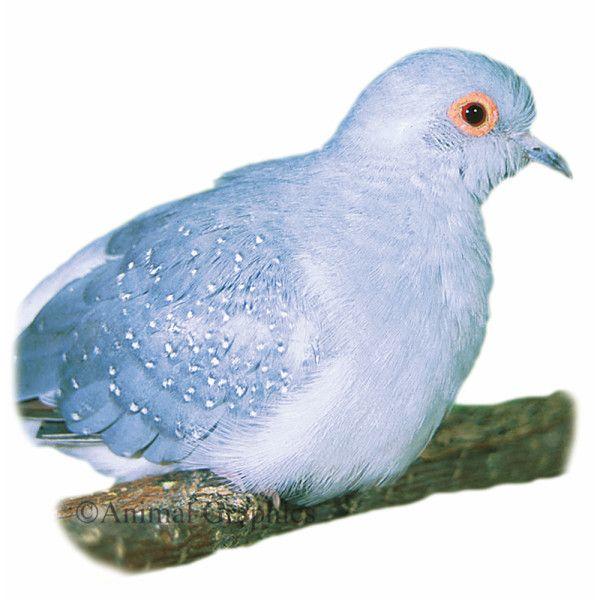 Diamond Dove Live Birds Petsmart Pet Birds Pet Spray Birds For Sale