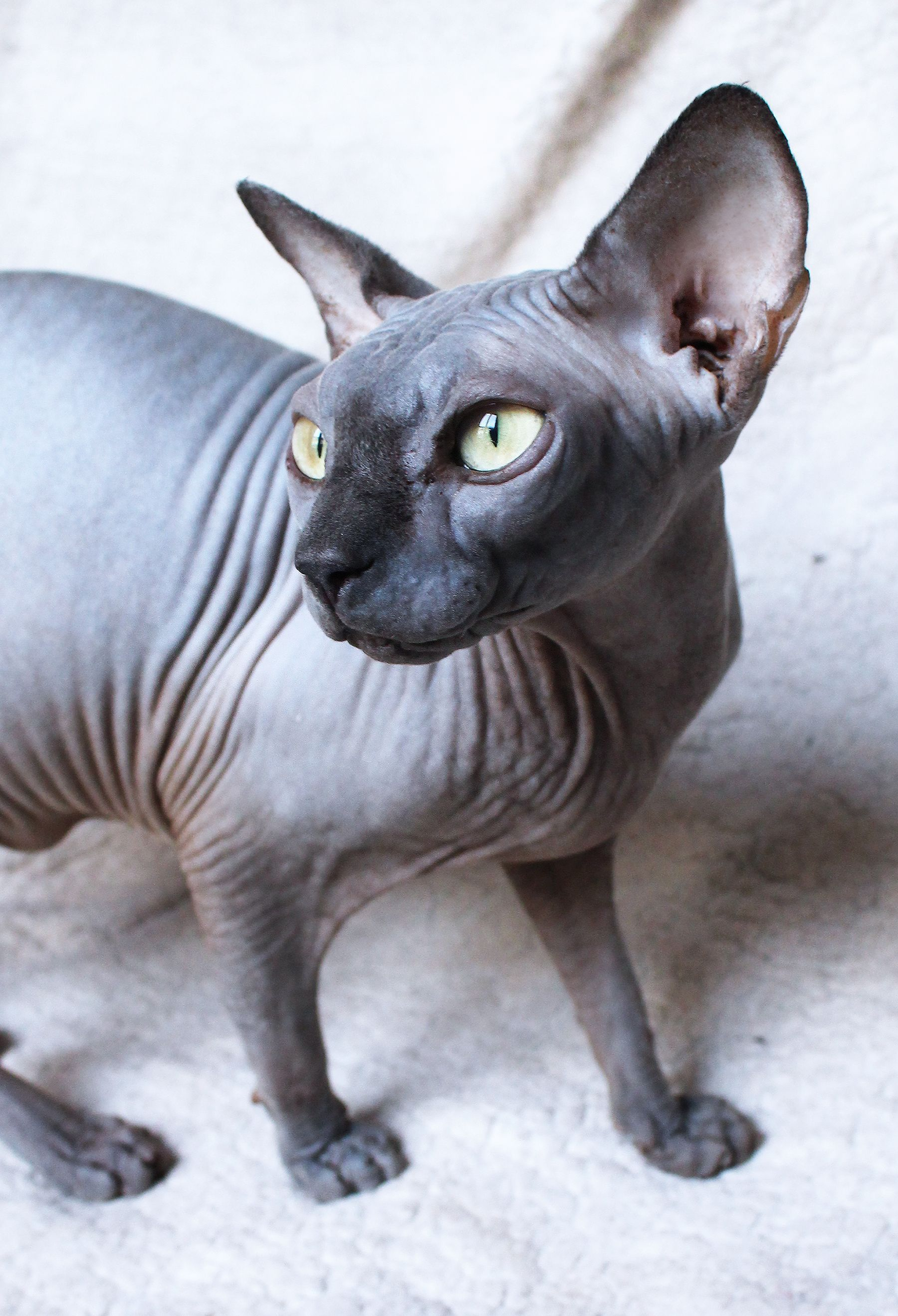 Loki The Blue Sphynx Cat Cat Care Cats Cute Cats