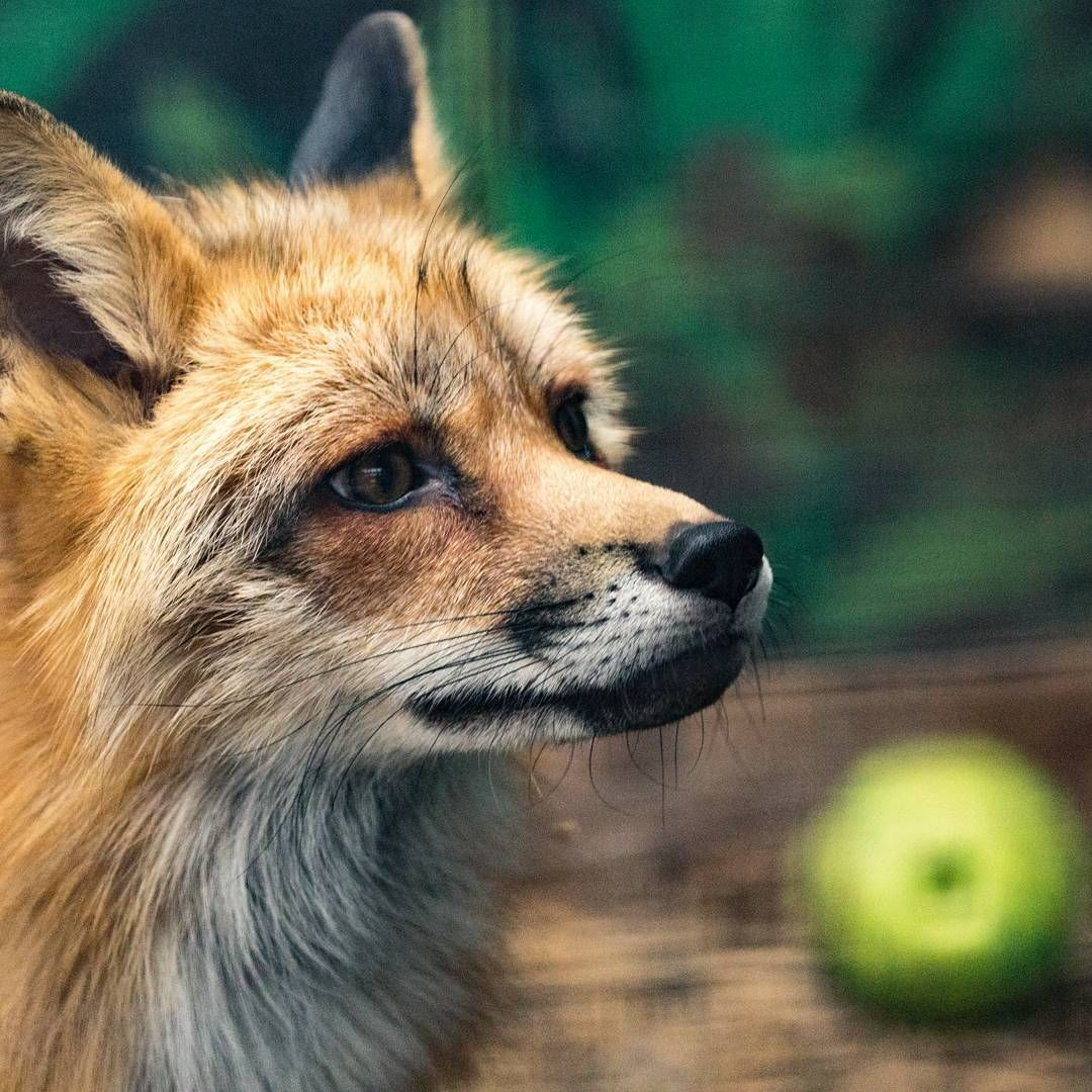 Pin by Beth Dilley on Foxes (With images) Best small