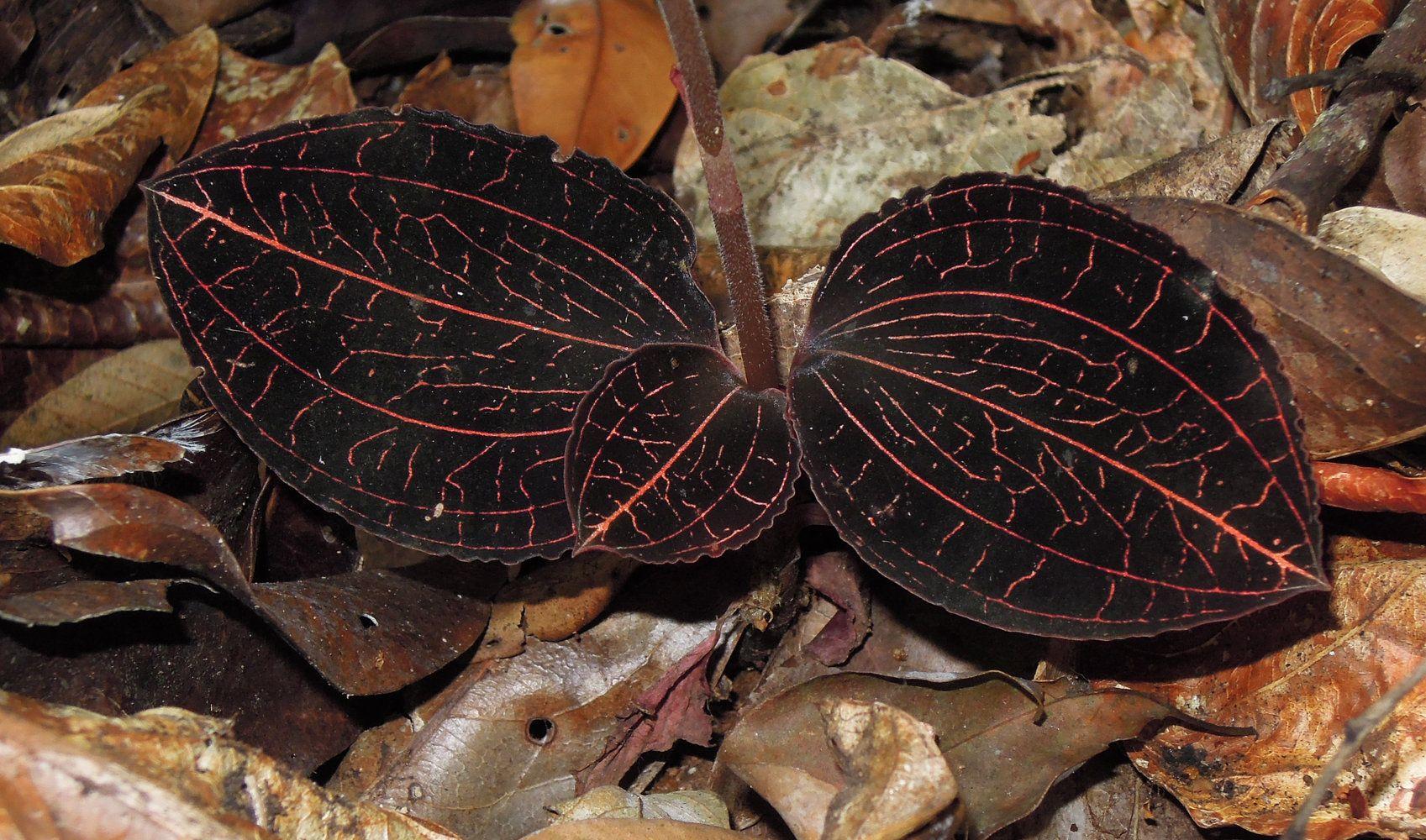 Anoectochilus albolineatus