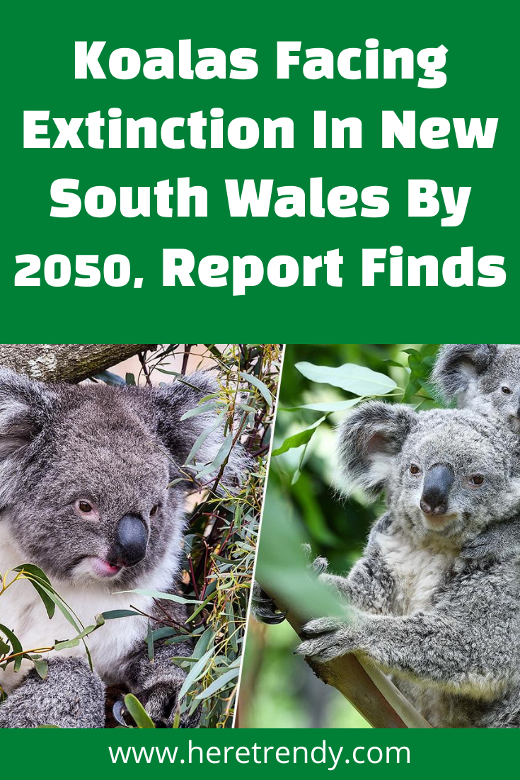 Koalas Facing Extinction In New South Wales By 2050 Report Finds In 2020 Koalas Animal Stories New South Wales