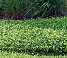 Florida Ground Cover Plants Asiatic Jasmine
