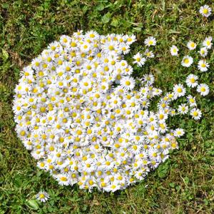 NATURKINDER: LandArt mit Kindern   Gänseblümchen