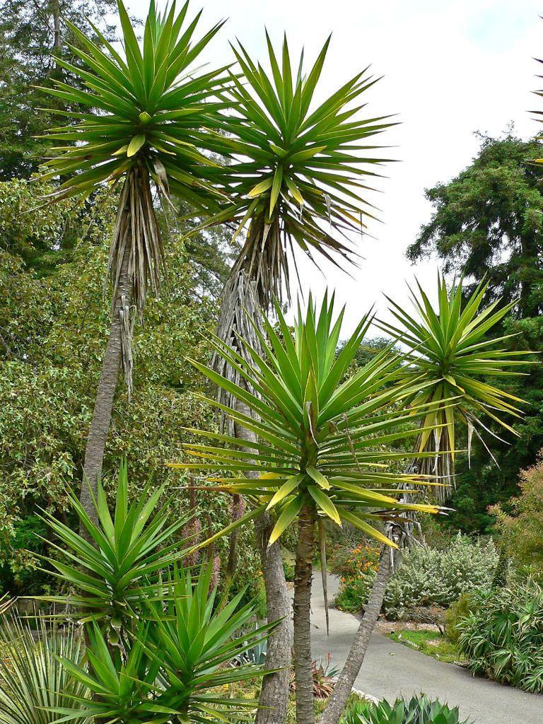 Tipi Di Piante Sempreverdi yucca aloifolia (spanish bayonet) (con immagini) | piante da