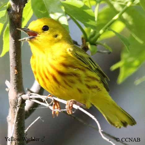 Yellow Warbler Setophaga Petechia North American Birds With
