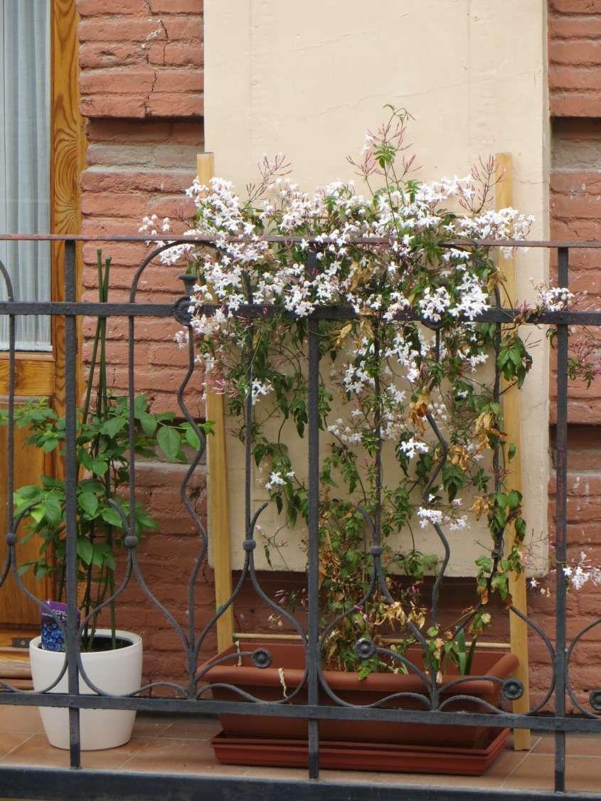Piante rampicanti da balcone - Gelsomino sul balcone   green nature ...