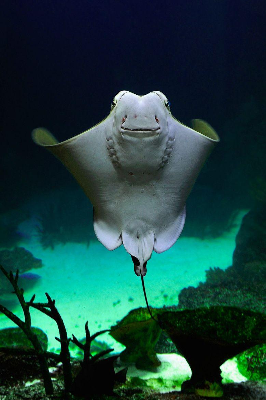 Rising Cownose Ray Meerestiere Tiefseefische Leben Im Meer