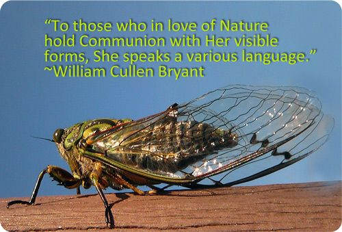 Cicada Meaning And Cicada Symbolism Animal Symbolism Moth Meaning Cicada