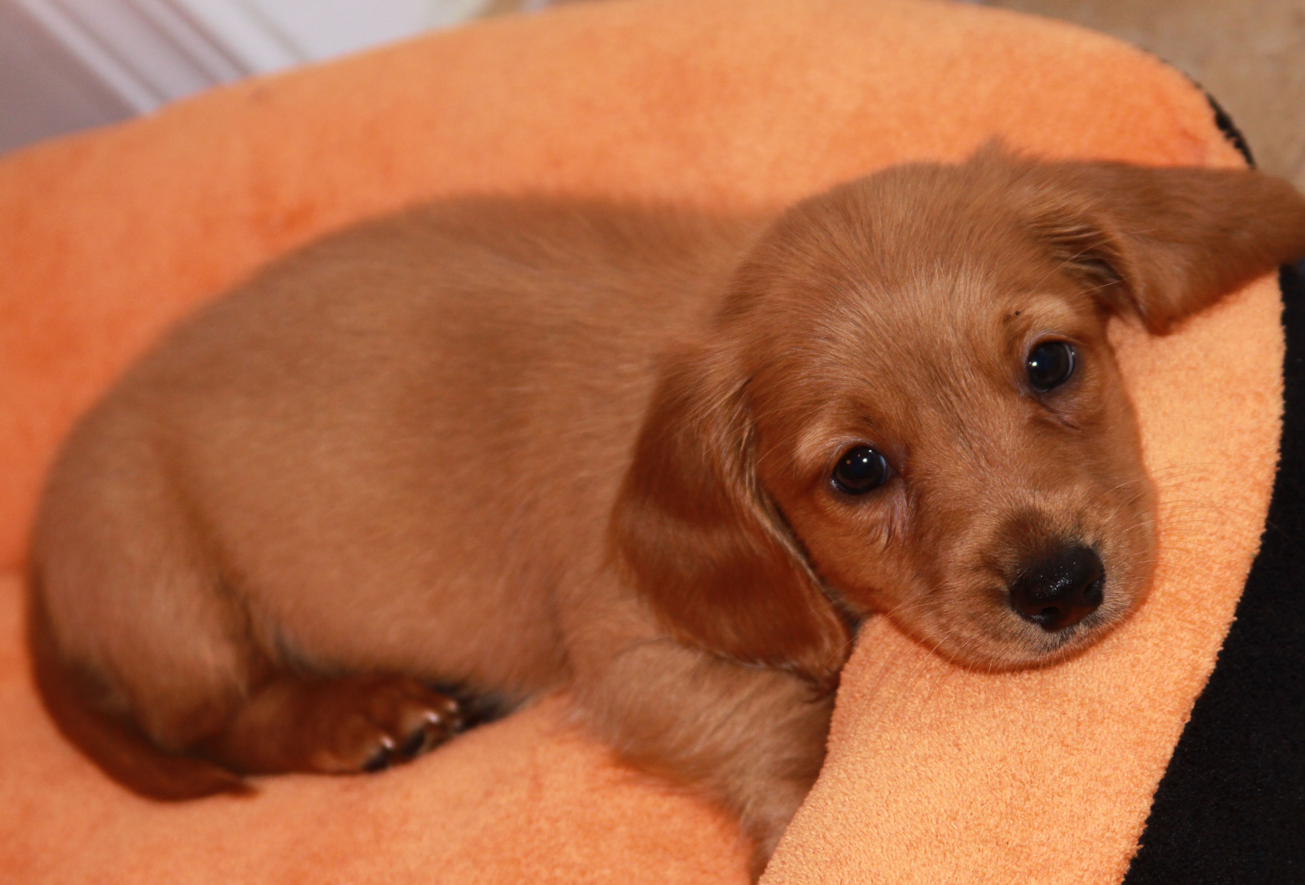 Longhaired Miniature Daschund Reagan Super cute dogs
