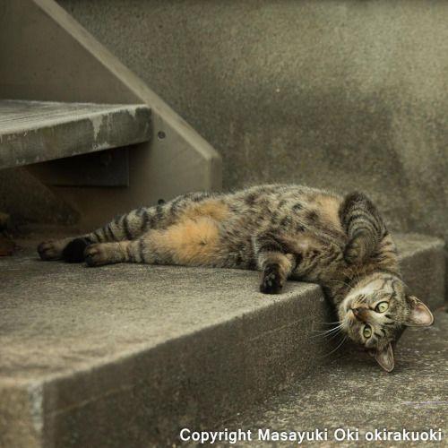 """okirakuoki: """" 頭ぶらりん。 #cat #ねこ """""""