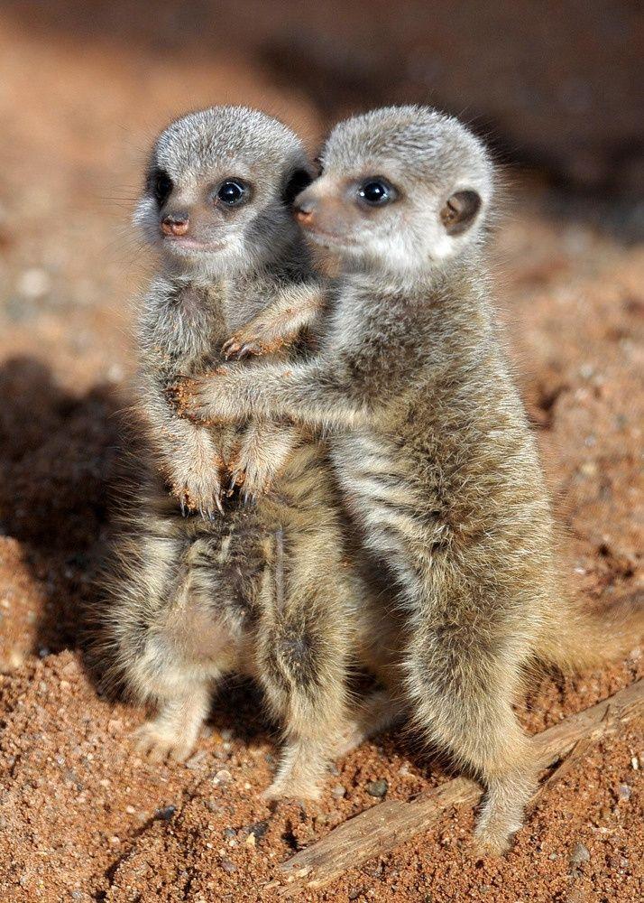 Cuddling meerkats ~ Photo credit: PA