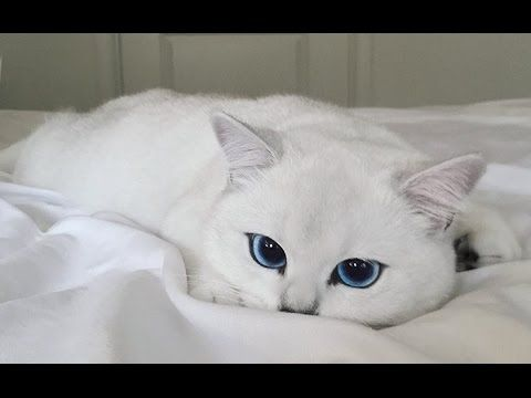 Meet Coby The Silky White Cat With The Most Mesmerising Big Blue Eyes Cute Cats Beautiful Cats Cute Animals