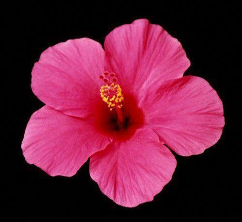 Hibiscus Flower Dissection Hibiscus Hibiscus Hibiscus Hibiscus
