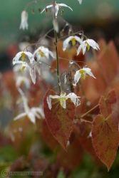 Epimedium stellulatum ´Wudang Star´, sockblomma En vintergrön perenner med vackert purpurfläckat ljusgrönt blad om våren när de springer ut tillsammans med de långa blomrika axen av vita, stjärnformade blommor. För skuggiga woodland eller rabatter där den inte torkar ut. Från kinesiska Hubei där den samlades på berget Wudang. 45 cm.
