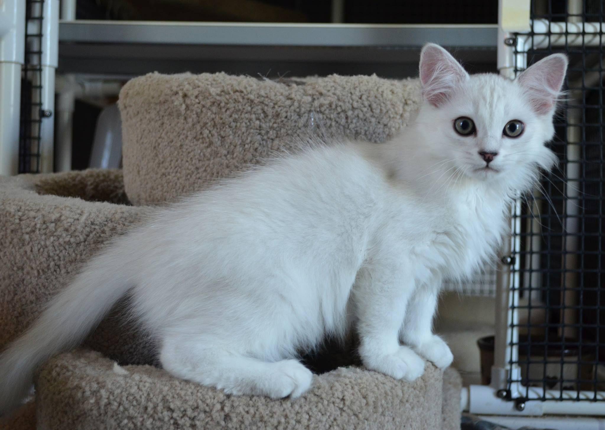 Kasanovakatz Burmillas Burmilla Cat Cat Shelter Burmilla
