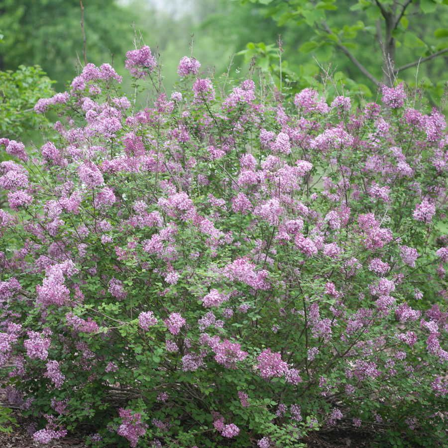Bloomerang Purple Lilac Syringa X Penda Is The First Re Blooming Lilac It Is Compact 4 5 X 4 Spring And With Images Plant Finder Plants Flowering Shrubs