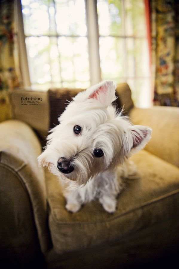 West Highland Terrier <3
