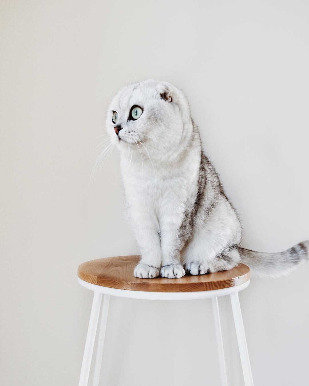 Scottish Fold Baby Mau Stool Fleuralice Scottish Fold Cat Scottish Fold Kittens Cutest