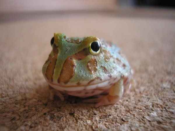 Pacman Frog They Eat Mice Amazing Pacman Frog Pet Frogs Cute