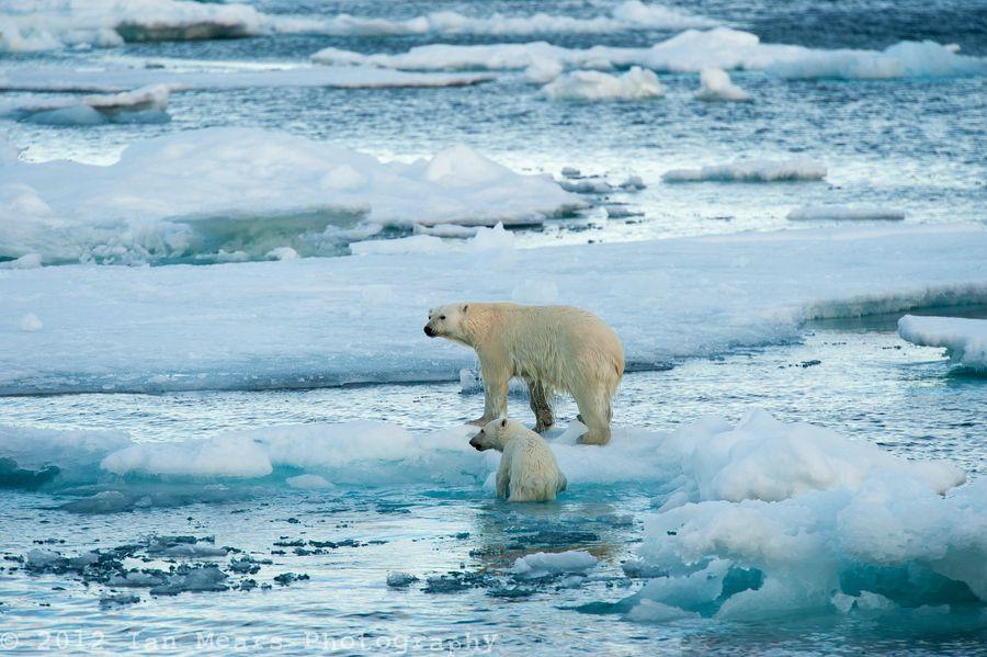 Avec la disparition de la glace, certains experts prédisent que l'ours polaire disparaîtra également de l'Arctique en 2050.