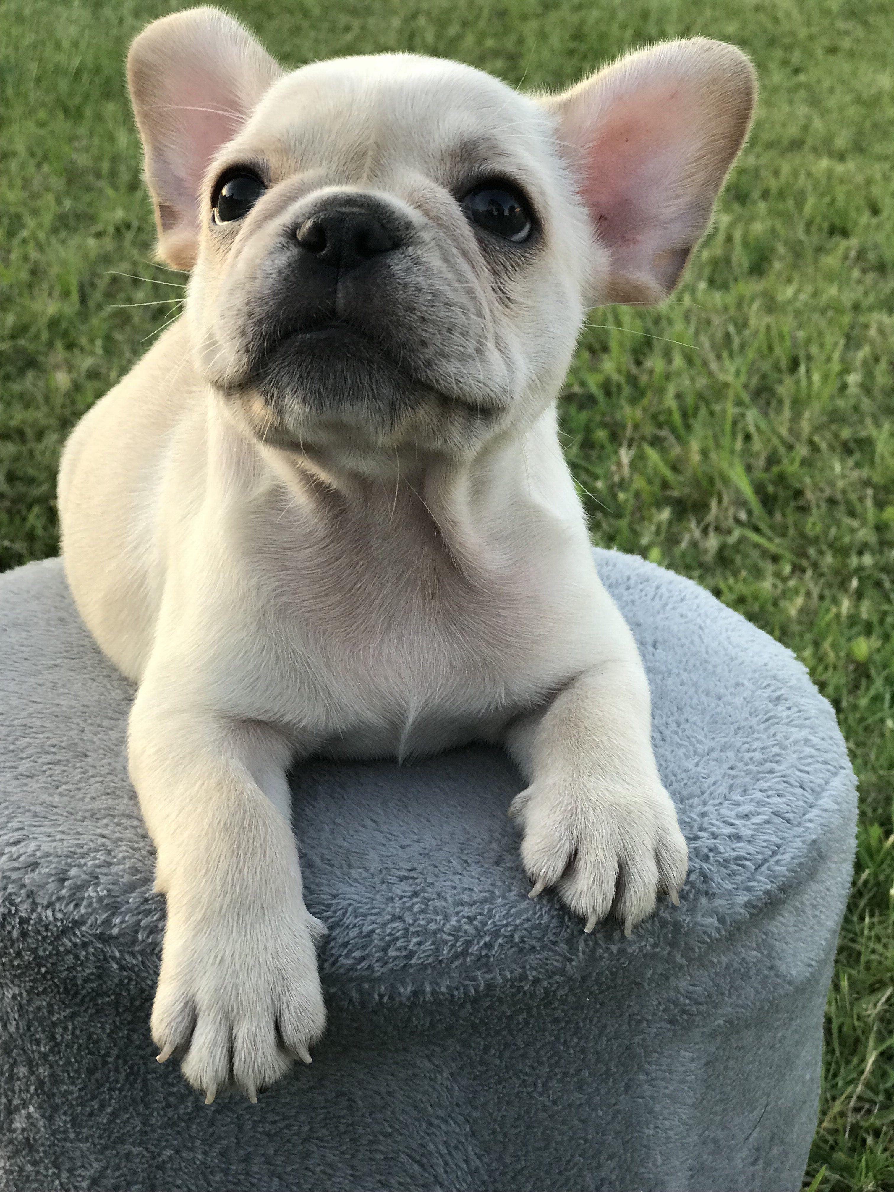 Cream french bulldog bulldog cream french bulldog