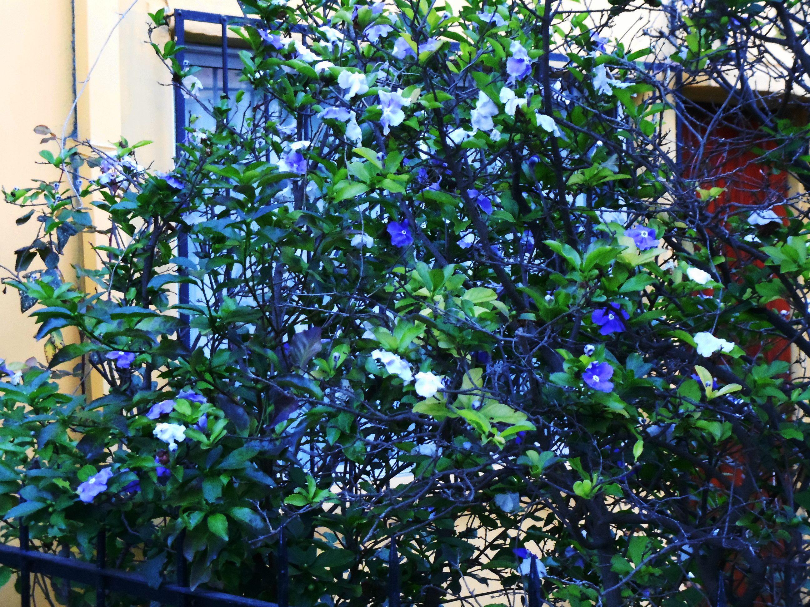 Diamelo Arbustos Y Arboles Ornamentales Pinterest