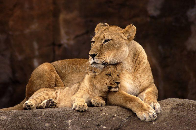 Pin On Lion Cub Tattoo