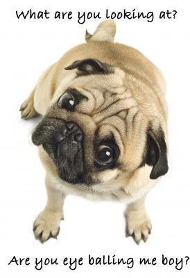 What Are You Looking At Pugs Dogs Pug Love